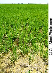 Agriculture rice field perspective in spain Valencia -...
