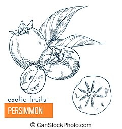 Persimmon. Hand drawn vector illustration, vintage...