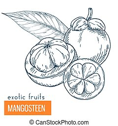 Mangosteen. Hand drawn vector illustration, vintage...