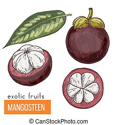 Mangosteen . Color vector illustration. - Mangosteen. Full...