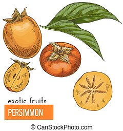Persimmon. Color vector illustration. - Persimmon. Full...