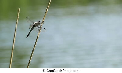 Dragonfly on a Branch. Slow Motion in 96 fps. Close-up....
