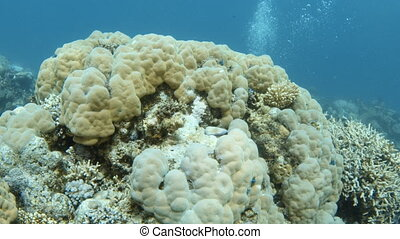 Yellowish coral reef and scuba diver underwater - A medium...