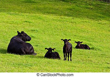 Calfs in the field - Young calfs in green field, Sutherland,...