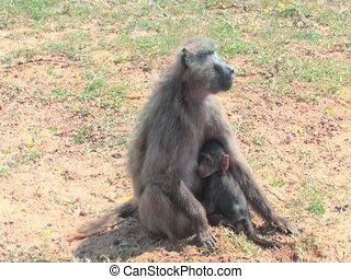 Vervet Monkey in Kruger National Park South Africa