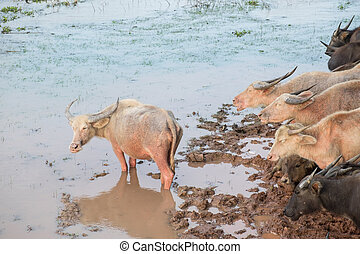 Water Buffalo at Talay Noi, Phatthalung Province in Southern...