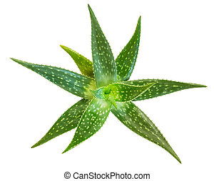 Fresh aloe vera isolated on white background, Clipping paths...