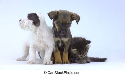 kitten and two puppy are isolated on  white screen
