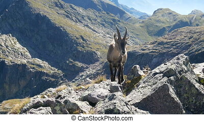 Alpine ibex looking at the camera on top of a peak on the...