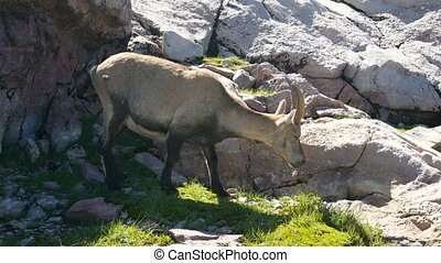 Steinbock grazing on the rocks on the Bergamo Alps, northern...