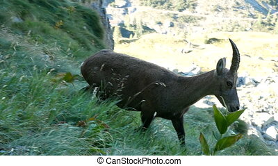 Alpine ibex walking on the Bergamo Alps, northern Italy