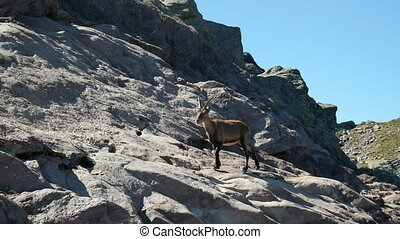 Steinbock walks on the rocks on the Bergamo Alps, northern...