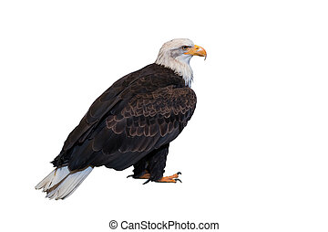 Bald eagle isolated on white background. Clipping path...