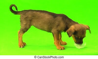 puppy drinks milk on the green screen