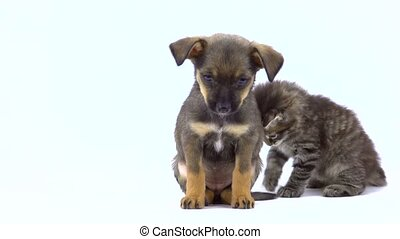 kitten and puppy are isolated on  white screen