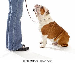 dog obedience training - english bulldog looking up watching...