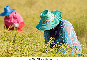 Farmers harvesting rice - Two farmers harvesting rice by...