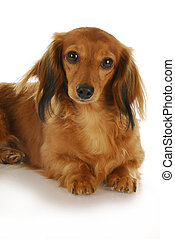 miniature dachshund - long-haired miniature dachshund laying...