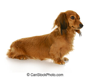 dachshund - long haired miniature dachshund sitting with...