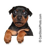 Miniature Pinscher puppy on white banner - German Miniature...