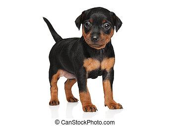 Miniature Pinscher puppy - Close-up of Miniature Pinscher...
