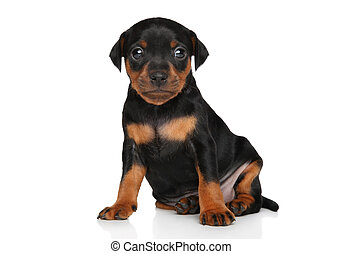 Cute Miniature Pinscher puppy sits in front of white...
