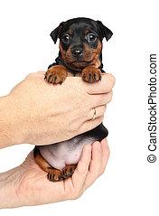 Miniature Pinscher in hands close-up - Man holds Miniature...