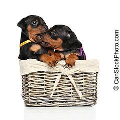 Miniature Pinscher puppies playing - Cute Miniature Pinscher...