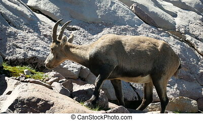 Alpine ibex grazing on the rocks on the Bergamo Alps,...