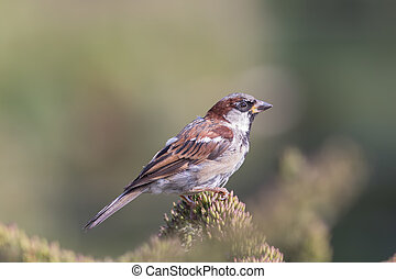 Male house sparrow (Passer domesticus) countryside wildlife...