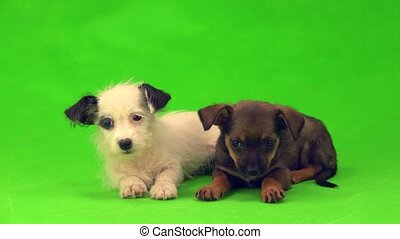 two puppies are isolated on the green screen