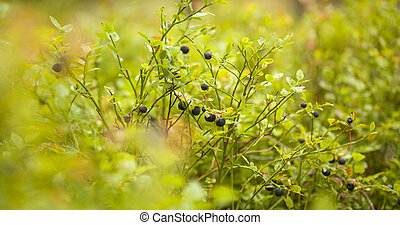 foraging bacground with edible berries bilberries