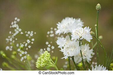 northern summery bouquet of white cornflowers and baby...