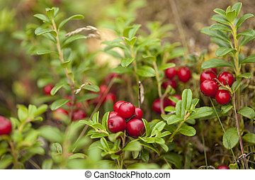 foraging bacground with edible berries lingonberry