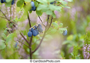 foraging bacground with edible berries, bog bilberry