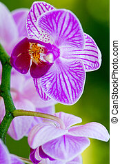 Closeup of a pink orchid with water drops. - Macro shot of a...