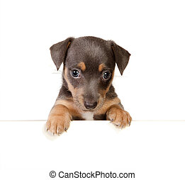 Isolated jack russel puppy