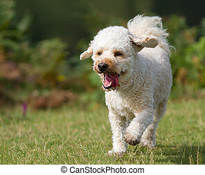 Dog walking on grass - Cavapoo dog walking on grass