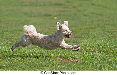 Dog running on grass - Dog captured in mid flight running on...