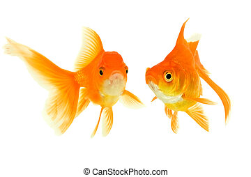 Female and the male of the goldfishes isolated on a white...