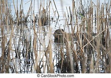 Coypu Eating Reeds - Coypu Animal Eating Green Leaves...