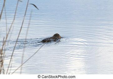 Coypu Swimming Away - Coypu Animal Swimming Away in the Lake...