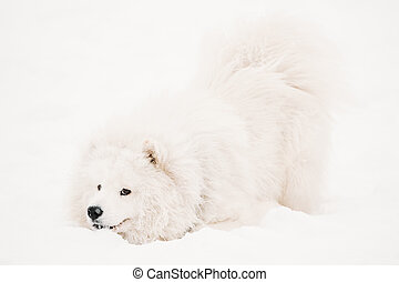 Funny Young White Samoyed Dog Or Bjelkier, Smiley, Sammy...