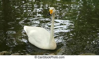 noble white swan on a pond - Noble white swan quietly floats...