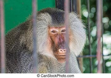 Portrait of baboon