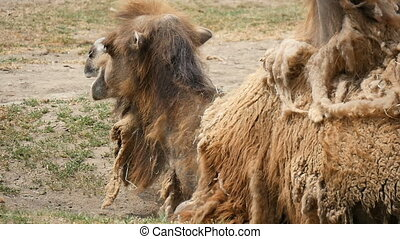 Two humped camel lies on the land and chews hay in a zoo in...