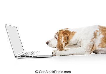 狗, 被隔离, beagle, 電腦, 背景, 白色