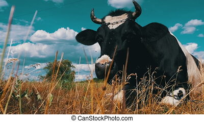 Black with White Cow Lying on Meadow and Chews Grass....