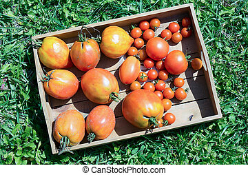 small wooden crate with tomatoes from the garden - a small...