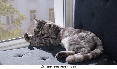 British cat with mouse toy on window sill - British cat with...